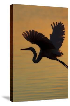 A Silhouetted Great Egret, Ardea Alba, Flying Over Water at Sunset-Robbie George-Stretched Canvas Print