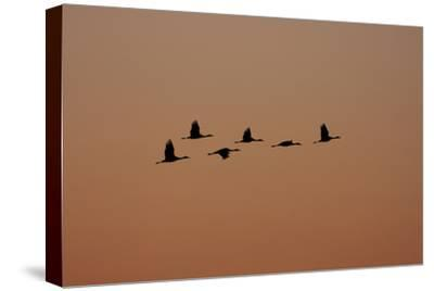 A Flock of Sandhill Cranes, Grus Canadensis, in Flight-Marc Moritsch-Stretched Canvas Print