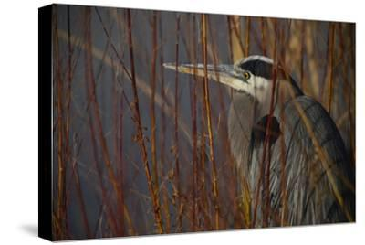 Portrait of a Blue Heron at a Pond-Raul Touzon-Stretched Canvas Print
