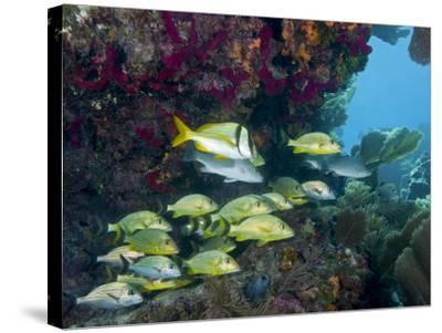 A Diversity of Grunt Fish Under a Colorful Coral Reef, Key Largo, Florida-Stocktrek Images-Stretched Canvas Print