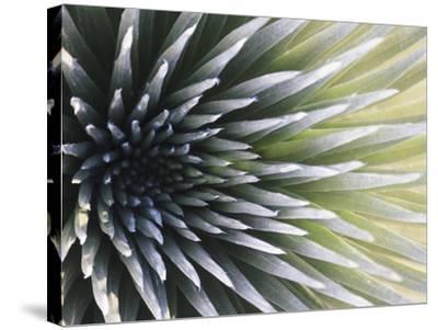 USA, Hawaii, Maui, Haleakala National Park, Silversword Plant (Argyroxiphium Sandwicense)-Michele Falzone-Stretched Canvas Print