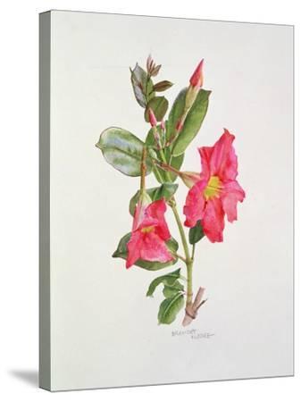 Passiflora Princess Eugenia, C.1980-Brenda Moore-Stretched Canvas Print
