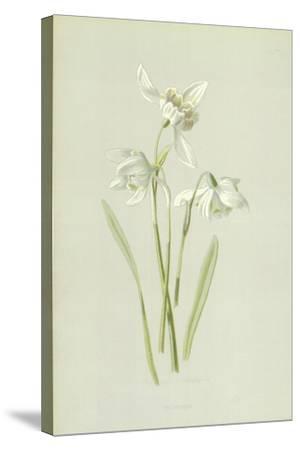 Snowdrop-Frederick Edward Hulme-Stretched Canvas Print