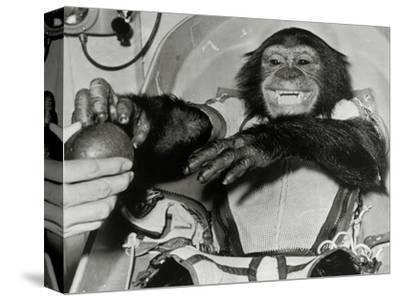 Chimp Ham After Mercury MR2 Flight--Stretched Canvas Print