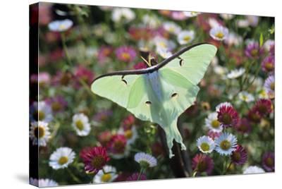 Luna Moth-David Aubrey-Stretched Canvas Print