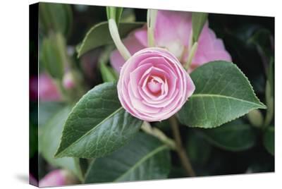 Camellia X Williamsii 'E G Waterhouse'-Maxine Adcock-Stretched Canvas Print