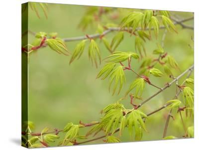 Japanese Maple (Acer Palmatum)-Adrian Bicker-Stretched Canvas Print