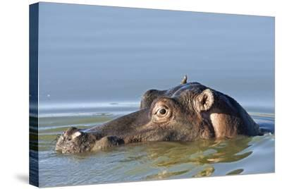 Hippopotamus In Water-Tony Camacho-Stretched Canvas Print