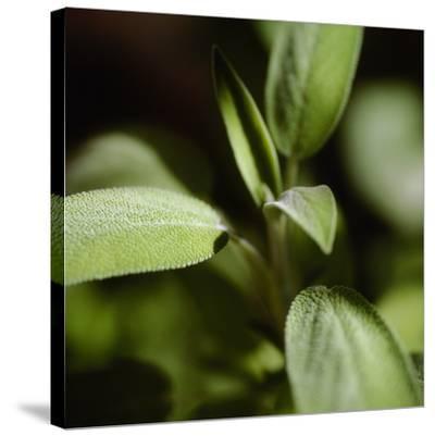 Sage (Salvia Officinalis)-Cristina-Stretched Canvas Print