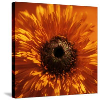 Marigold (Calendula Officinalis)-Cristina-Stretched Canvas Print