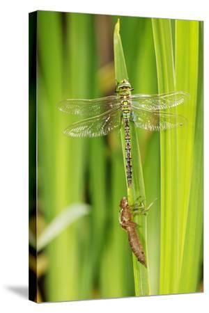 Emperor Dragonfly Metamorphosis-Andy Harmer-Stretched Canvas Print