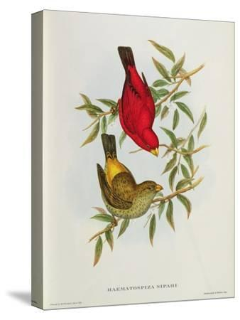 Haematospiza Sipahi, Illustration from 'Birds of Asia', Vol. I, Parts I-Vi,By John Gould, 1850-54-John Gould-Stretched Canvas Print