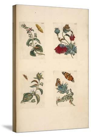 Plate from 'De Eoropische Insecten, 1730-Maria Sibylla Graff Merian-Stretched Canvas Print