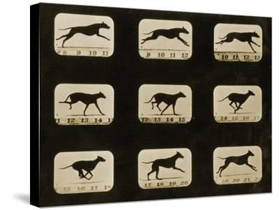 Greyhounds Running, from the 'Animal Locomotion' Series, C.1881-Eadweard Muybridge-Stretched Canvas Print