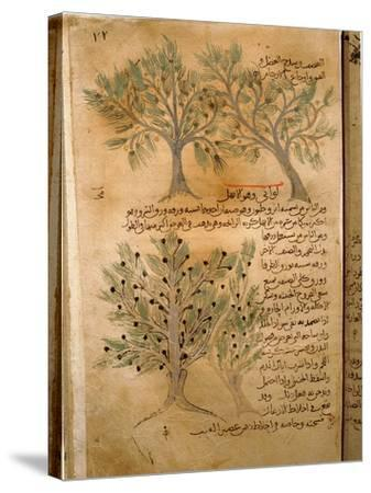 Folio 22R of the Arabic Version of Dioscorides' De Materia Medica--Stretched Canvas Print