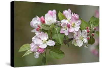 Apple Blossom (Malus X Domestica)-Dr. Keith Wheeler-Stretched Canvas Print