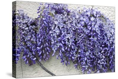 Wisteria Sp-Dr. Keith Wheeler-Stretched Canvas Print