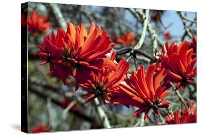 Kaffir Tree (Erythrina Kaffir) Flowers-Dirk Wiersma-Stretched Canvas Print