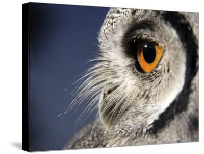 White-faced Scops Owl Eye-Linda Wright-Stretched Canvas Print
