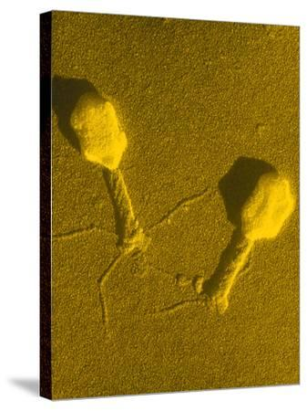 TEM T4 Bacteriophage-M. Wurtz-Stretched Canvas Print