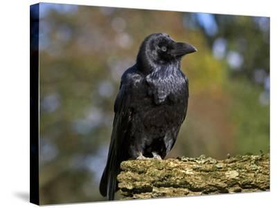 Common Raven-Linda Wright-Stretched Canvas Print