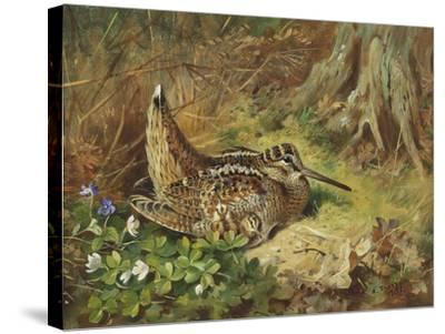 A Woodcock and Chicks-Archibald Thorburn-Stretched Canvas Print