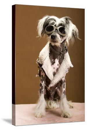 Sexy Chinese Crested Hairless Sporting A Cool Coat And Glasses- Candicecunningham-Stretched Canvas Print