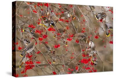 Bohemian Waxwings Feeding on Mountain Ash Berries, Montana, USA-Chuck Haney-Stretched Canvas Print