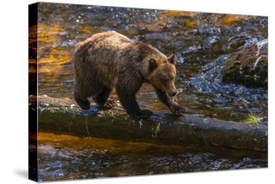 Grizzly Bear Watching for Salmon, Tongass National Forest Alaska, USA-Jaynes Gallery-Stretched Canvas Print