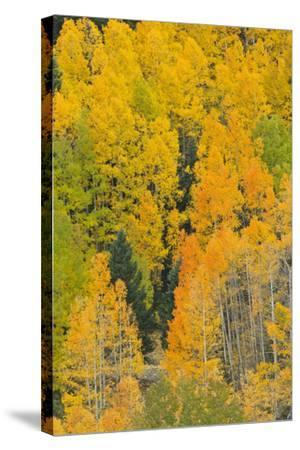 Quaking Aspens in a Fall Glow, Bald Mountain, New Mexico, USA-Maresa Pryor-Stretched Canvas Print