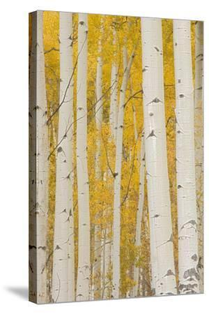 Aspen Trees, White River National Forest Colorado, USA-Charles Gurche-Stretched Canvas Print