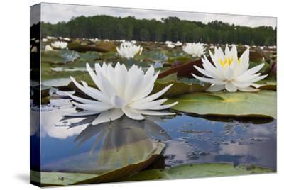 Fragrant Water Lily (Nymphaea Odorata) on Caddo Lake, Texas, USA-Larry Ditto-Stretched Canvas Print
