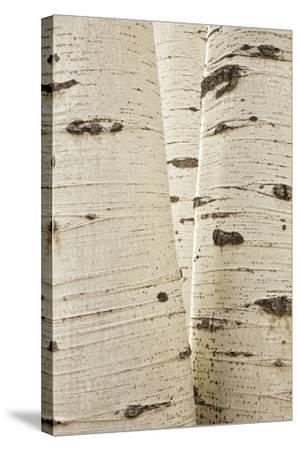 Aspens in Gunnison National Forest Colorado, USA-Charles Gurche-Stretched Canvas Print