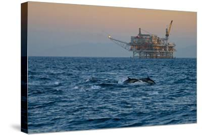 Dolphin Pod Leap Near Oil Derrick, Catalina Channel, California, USA-Peter Bennett-Stretched Canvas Print