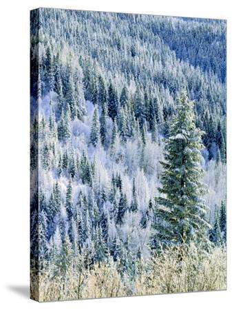 Aspen Trees, Mt Spokane State Park, Washington, USA-Charles Gurche-Stretched Canvas Print