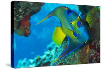A Queen Angelfish under a Ledge Off Cooper Island, British Virgin Islands-Mauricio Handler-Stretched Canvas Print