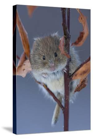 Portrait of a Northern Red-Backed Vole, Myodes Rutilus, Climbing on a Tree Branch-Michael S^ Quinton-Stretched Canvas Print