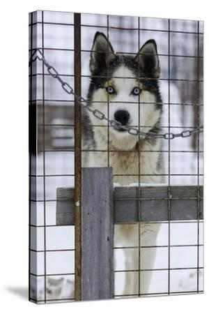 An Alaskan Huskies Peering Through the Wire of its Kennel-Jonathan Irish-Stretched Canvas Print