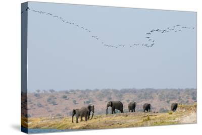 A Herd of African Elephants, Loxodonta Africana, Along Chobe River-Sergio Pitamitz-Stretched Canvas Print
