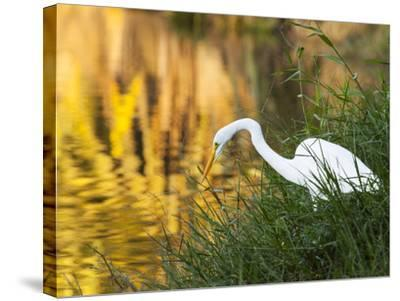 A Great Egret Fishing in Ibirapuera Park at Sunset-Alex Saberi-Stretched Canvas Print