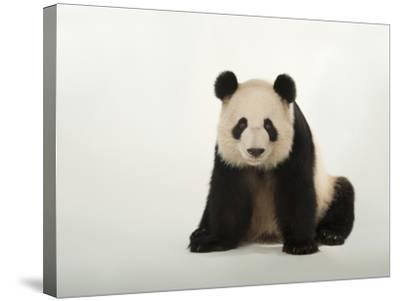 A Giant Panda, Ailuropoda Melanoleuca, at Zoo Atlanta-Joel Sartore-Stretched Canvas Print