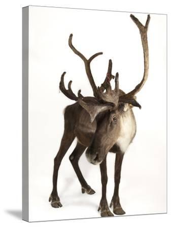 A Federally Endangered Woodland Caribou, Rangifer Tarandus Caribou-Joel Sartore-Stretched Canvas Print