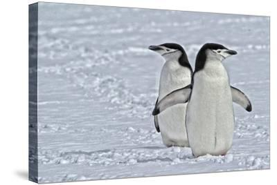 Chinstrap Penguins, Pygoscelis Antarcticus, on the Aitcho Islands-Kike Calvo-Stretched Canvas Print