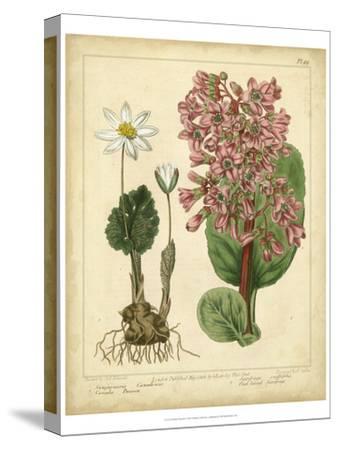Garden Flora III-Sydenham Edwards-Stretched Canvas Print