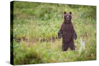 Brown Bear in Coastal Meadow in Alaska-Paul Souders-Stretched Canvas Print