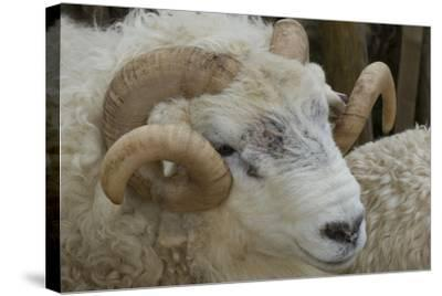 Dartmoor Sheep-James Emmerson-Stretched Canvas Print