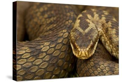 Adder (Vipera Berus) Basking in the Spring, Staffordshire, England, UK, April-Danny Green-Stretched Canvas Print