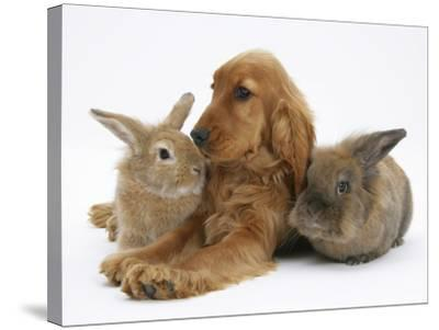 Red - Golden English Cocker Spaniel, 5 Months, with Two Rabbits-Mark Taylor-Stretched Canvas Print