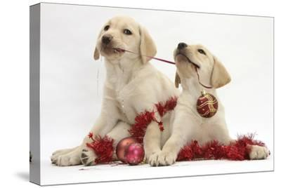 Yellow Labrador Retriever Bitch Puppies, 10 Weeks, Playing with Christmas Decorations-Mark Taylor-Stretched Canvas Print