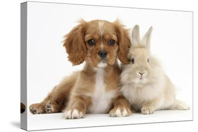 Cavalier King Charles Spaniel Puppy, Star, with Sandy Rabbit-Mark Taylor-Stretched Canvas Print